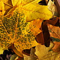 The Speckled Maple Leaf by David Andersen