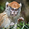The Stare A Baby Patas Monkey  by Jim Fitzpatrick