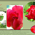The Subject Is Roses by Brooks Garten Hauschild