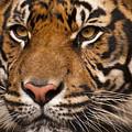 The Sumatran Tiger Cat by Chad Davis