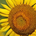The Sunflower And The Bee by Terrah Hewett