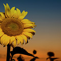 The Sunflower by CA Johnson