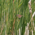 The Swamp Sparrow In-flight by Asbed Iskedjian