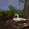 The Swan by Gary Adkins