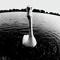 The Swan by Heinz Baade