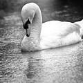 The Swans Solitude by David Ortega Baglietto