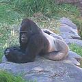 Silverback Gorilla by Rick Maxwell