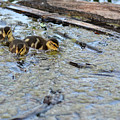 The Three Amigos Ducklings by Asbed Iskedjian