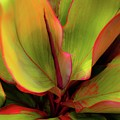 The Ti Leaf Plant In Hawaii by D Davila