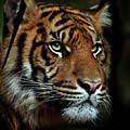 The Tiger by Animus Photography