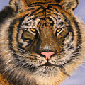 The Tiger, 16x20, Oil, '08 by Lac Buffamonti