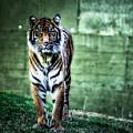 The Tigress by Saija  Lehtonen
