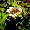 The Tiniest Skipper Butterfly In The Garden by Debra Lynch