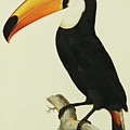The Toco Toco Toucan  Ramphastos Toco by Jacques Barraband