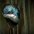 The Tree Swallow by Francisco Gomez