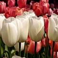 The Tulip Bloom by Jeelan Clark