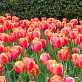 The Tulips Are Coming by Trent Jackson