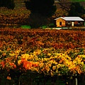 The Vines During Autumn by Douglas Barnard