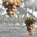 The Vineyard 2  by September  Stone