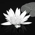 The Vintage Lily II by Melanie Moraga