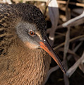 The Virginia Rail by MCM Photography
