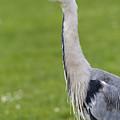 The Watchful Heron by David Pyatt