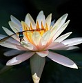 The Water Lily And The Dragonfly by Sabrina L Ryan