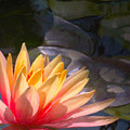 The Water Lily by Martin Fry