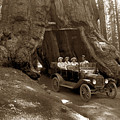 The Wawona Tree Mariposa Grove, Yosemite  Circa 1916 by California Views Archives Mr Pat Hathaway Archives