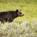 The Wet Grizzly by Chad Davis