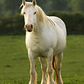 The White Horse by Angel Ciesniarska