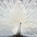 The White Peacock by Jeffery L Bowers