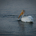 The White Pelican 1 by Ernie Echols