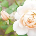 The White Washed Rose by Bob Martin