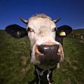 The Wideangled Cow  by Angel  Tarantella