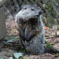 The Woodchuck Has To Pee by Kenneth Lempert