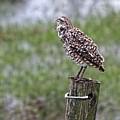 The Yawn - Burrowing Owl