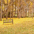 The Yellow Leaves Of Fall Carpet The Ground Of A Ginkgo Biloba Grove. Cm3 by Lionel Everett
