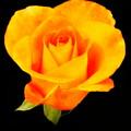 The Yellow Rose by Myrna Bradshaw
