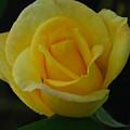 The Yellow Rose Of Texas by Carol  Eliassen