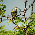 The  Yellow-rumped Warbler by Robert Bales
