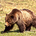 The Yellowstone Grizzly Strut by Adam Jewell