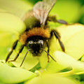 Thirsty Bumble Bee. by Elena Perelman