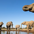 Thirsty Elephants by Max Waugh