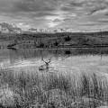 This Is Alberta 9b - Bucks Having A Swim by Paul W Sharpe Aka Wizard of Wonders