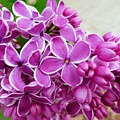 This Lilac Has Flowers With A White Edging. 4  by Regina Donetskaya