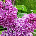 This Lilac Has Flowers With A White Edging.1 by Regina Donetskaya