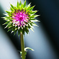 Thistle Bloom by Edward Peterson