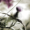 Thistle by Bonnie Bruno