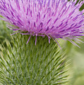 Thistle Close-up by Elvira Butler